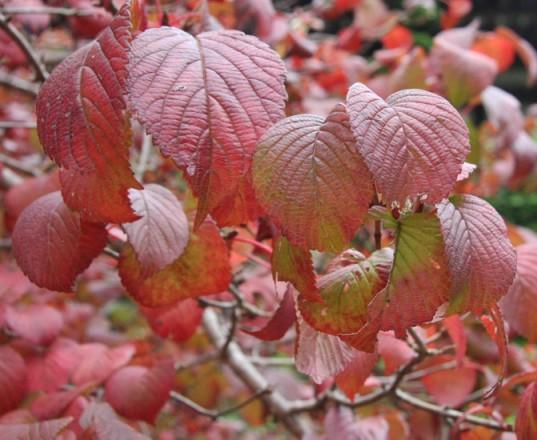 オオデマリ紅葉