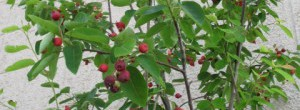 ジューンベリー樹