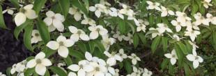 常緑ヤマボウシ花