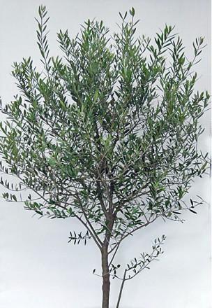 オリーブ樹形